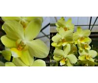 Phalaenopsis PHM 044 Brother Golden Embers
