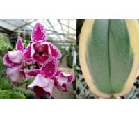 Phalaenopsis PHM 059 Chia E Yenlin peloric