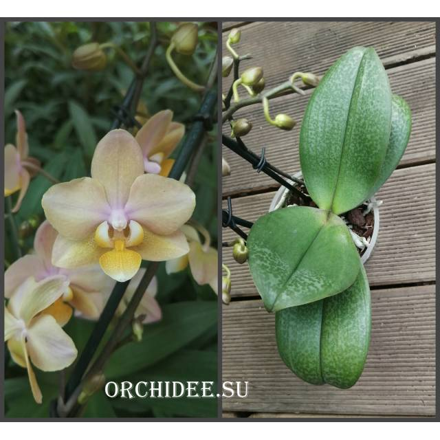 Phalaenopsis PHM 067 Scention