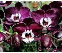Phalaenopsis PHM 067 Harlekijn Yuka