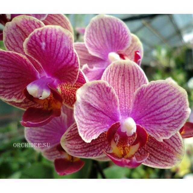 Phalaenopsis PHM 078 I-Hsin 'KHM2294'