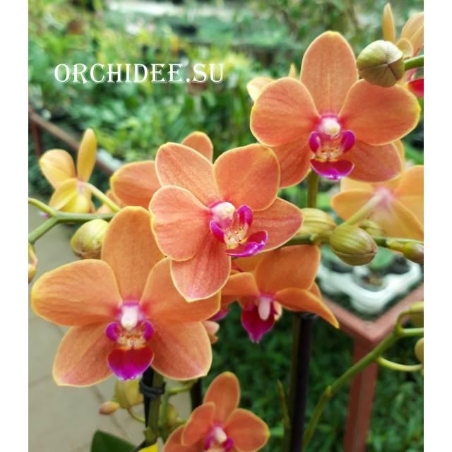 Phalaenopsis PHM 095 Paprika