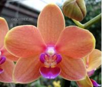 Phalaenopsis PHM 095