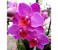 Phalaenopsis PHM 104