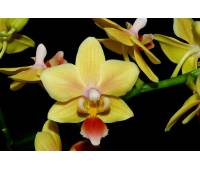 Phalaenopsis PHM 121 Sunny Smell