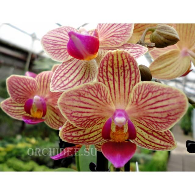 Phalaenopsis PHM 125