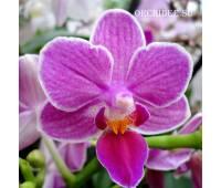 Phalaenopsis PHM 127