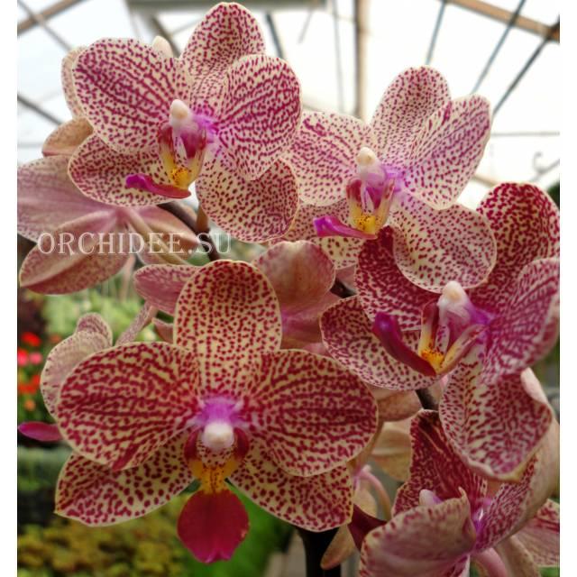 Phalaenopsis PHM 128