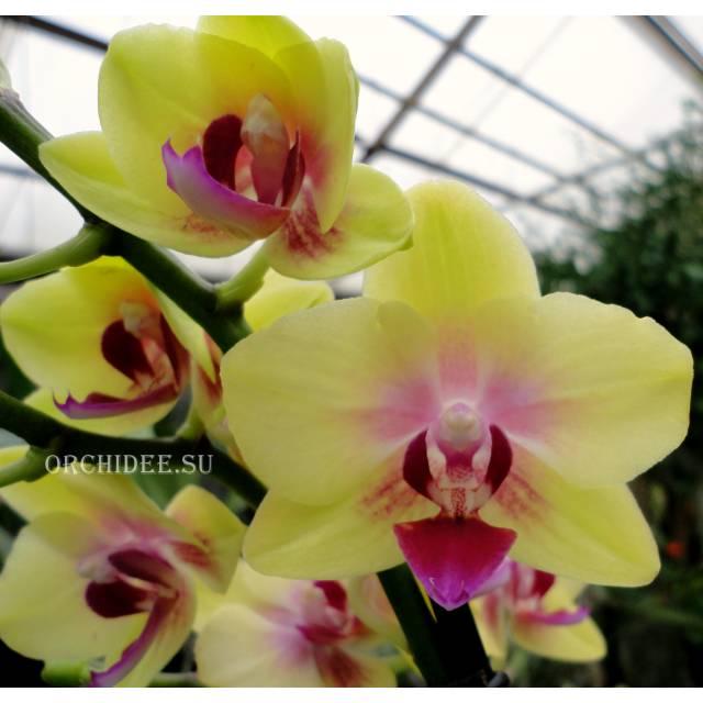 Phalaenopsis PHM 130 Spunky