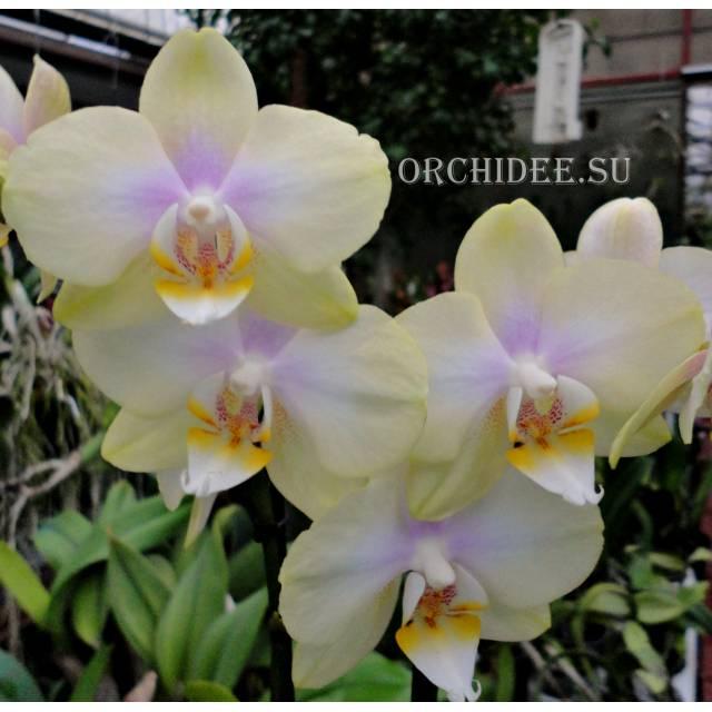 Phalaenopsis PHM 132 Sogo Romantic