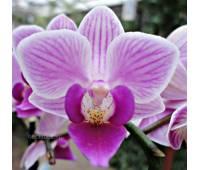 Phalaenopsis PHM 133 Girl Talk