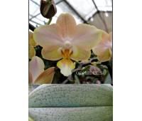 Phalaenopsis PHM 134 Powdery