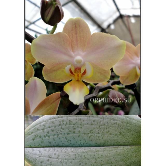 Phalaenopsis PHM 134 Aroma Oranje