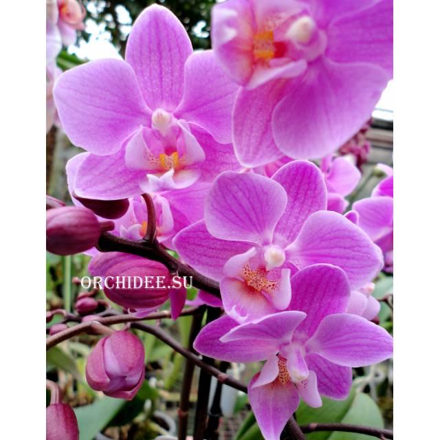 Phalaenopsis PHM 135 Pinky