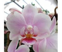 Phalaenopsis PHM 136 Light Rose 'Lovette'