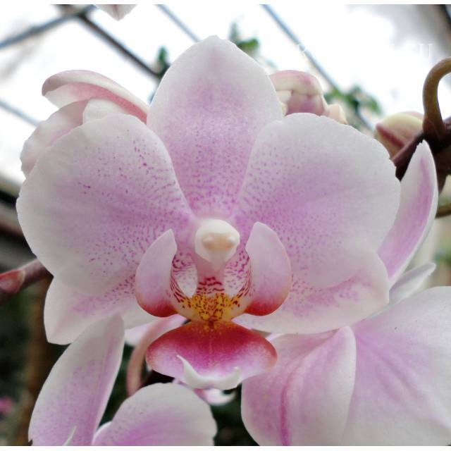 Phalaenopsis PHM 136 Light Rose 'Lovette'