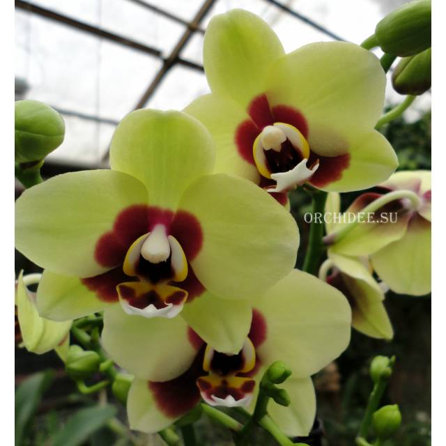 Phalaenopsis PHM 137 Deep Secret