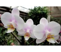 Phalaenopsis PHM 138