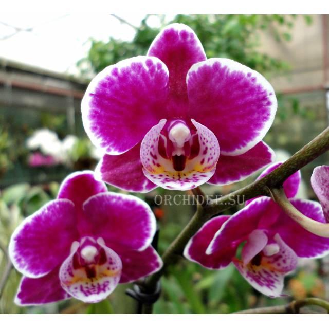 Phalaenopsis PHM 142