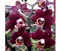 Phalaenopsis PHM 149 Red Peoker 'M699'
