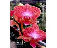 Phalaenopsis PHM 151