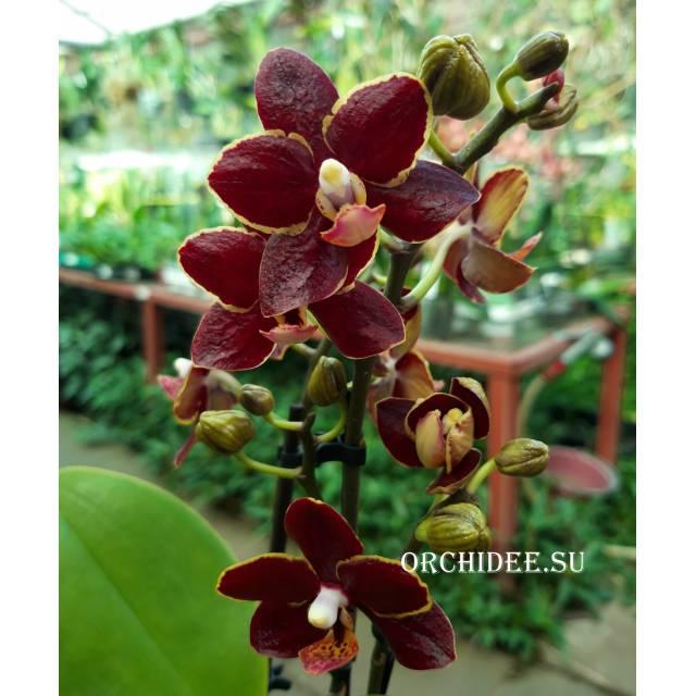 Phalaenopsis PHM 156 Esmee