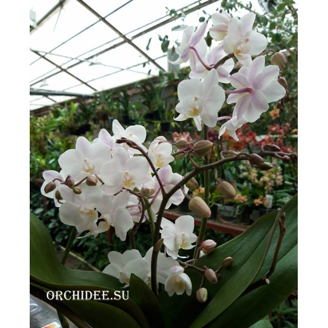 Phalaenopsis PHM 157 Wild Pink Cascade