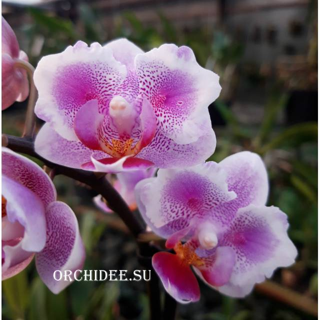 Phalaenopsis PHM 158 Pink Dream (butterfly peloric)