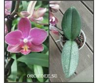 Phalaenopsis PHM 171 Diffusion