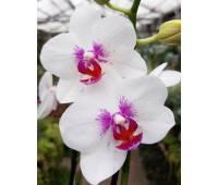 Phalaenopsis PHM 025 Zambia