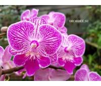 Phalaenopsis PHM 038 Big lip