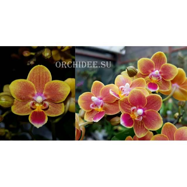 Doritaenopsis PHM 064 Little Honey