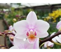 Phalaenopsis PHM 070