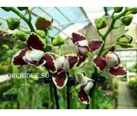 Phalaenopsis PHM 072/1 Bellinzona Harlekin type (peloric)