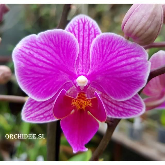 Phalaenopsis PHM 086