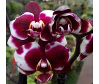Phalaenopsis PHM 101 Gaucho Harlequin
