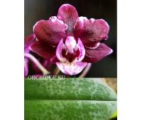 Phalaenopsis PHM 102