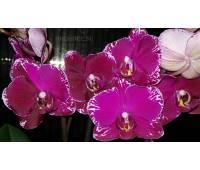 Phalaenopsis PHM 103