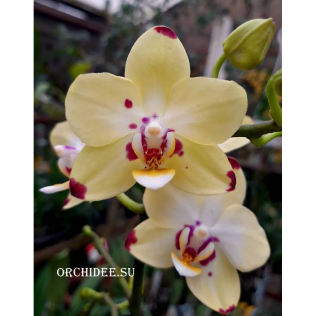 Phalaenopsis PHM 105