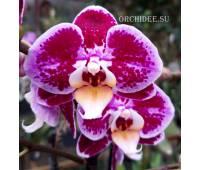 Phalaenopsis PHM 116 Bubbles