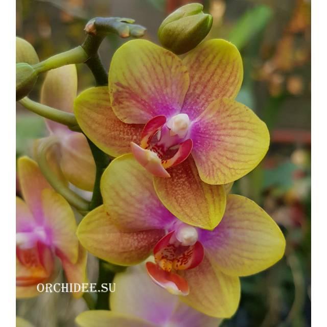 Phalaenopsis PHM 117