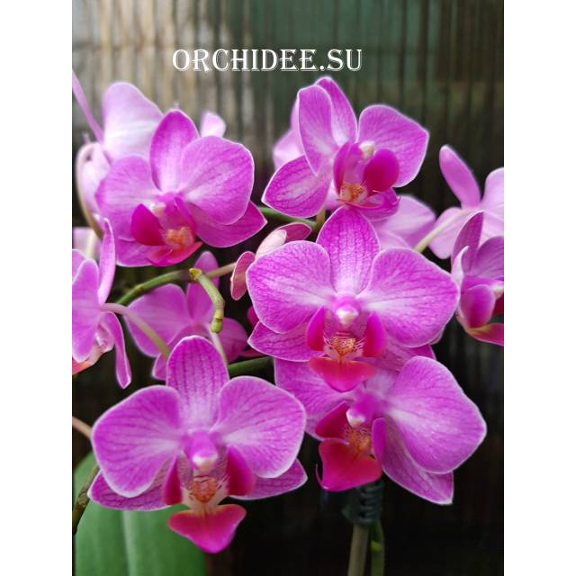 Phalaenopsis PHM 124
