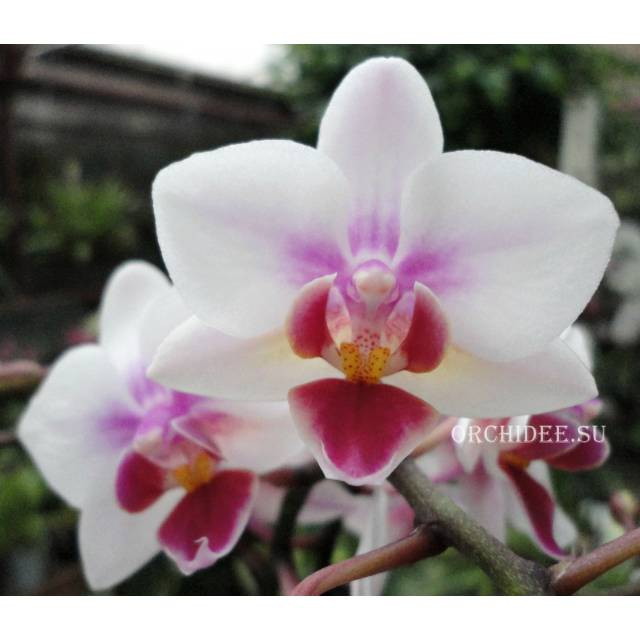 Phalaenopsis PHM 139 Mexico City