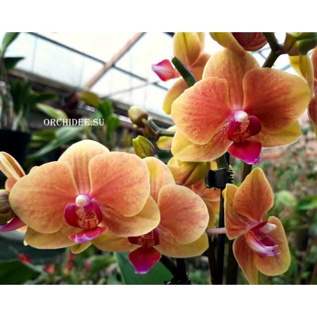 Phalaenopsis PHM 140 Grazia