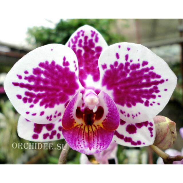 Phalaenopsis PHM 141