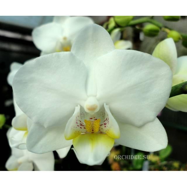 Phalaenopsis PHM 144 Snow flake