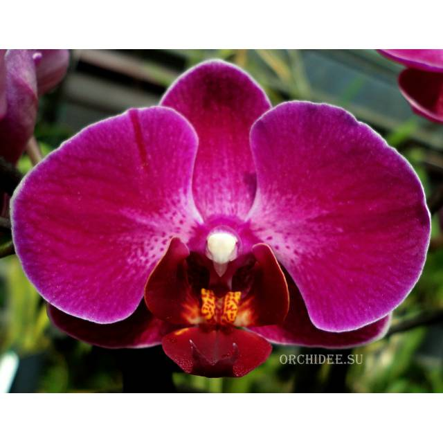 Phalaenopsis PHM 145 Anthura Morelia