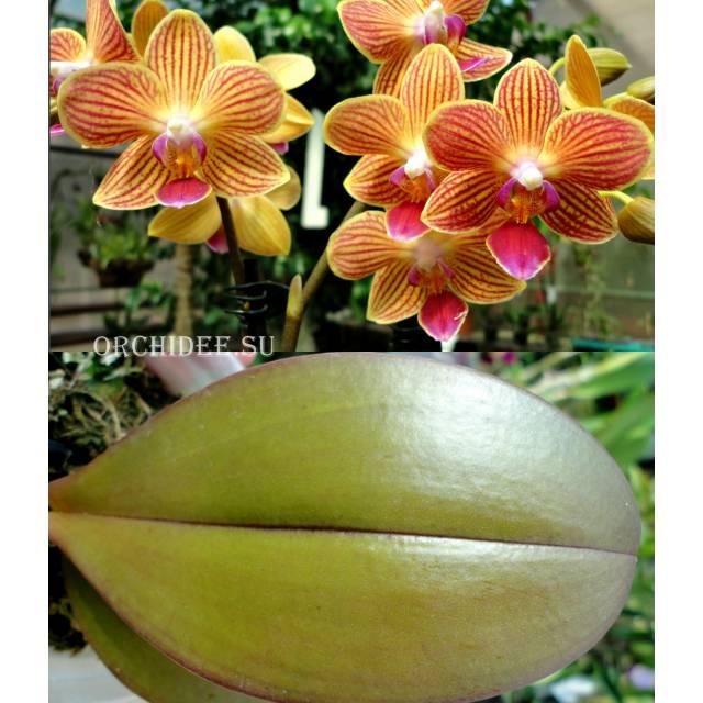 Phalaenopsis PHM 147 Chingruey's Goldstaff