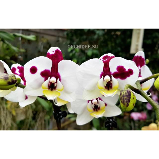 Doritaenopsis PHM 150 Spotted