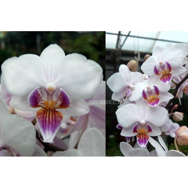 Phalaenopsis PHM 153